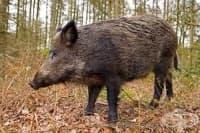 Откриха заразено с трихинелоза месо от диви прасета в Ловешко
