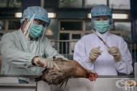 Масово унищожаване на хиляди пилета в Япония поради избухване на птичи грип