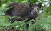 В сливенската болници приеха жена след инцидент с диво прасе