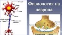 Физиология на неврона