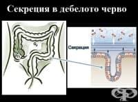 Секреция в дебелото черво