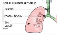 Долни дихателни пътища