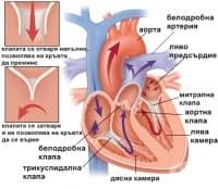 Функция на сърдечните клапи