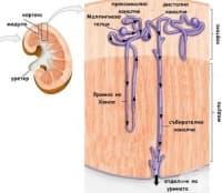Функционална анатомия на бъбреците
