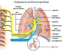 Инервация на белите дробове
