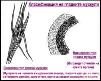 Класификация на гладките мускули