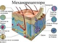 Механорецептори