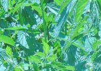 Облекчете дерматита с листа от хлъзгав бряст