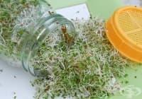 Как да си направим кълнове от броколи в домашни условия