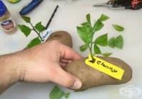 Как да си захванем цитрусово дръвче с картоф?
