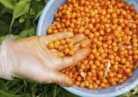 Насърчете имунитета с прополис, цветен прашец и морски зърнастец
