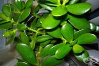 Облекчете симптомите на ангина, язва и цистит с листа от дърво на живота