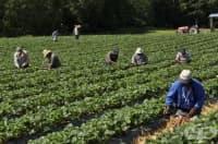 Испански кооператив търси 800 души за бране на ягоди