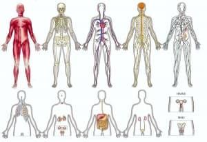 Органи и системи