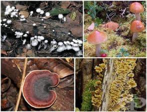 Царство Fungi