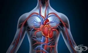 Специален антиоксидант разширява кръвоносните съдове и предотвратява заболявания