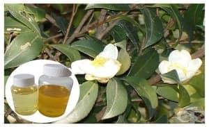 Маслото от бяла камелия защитава от белодробна фиброза