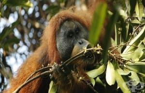 Откриха нов вид орангутан в света