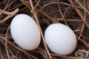 Гълъбово яйце