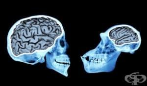 Еволюция на човешкия мозък: тройно увеличаване на обема му за 3 милиона години