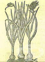 Исторически факти за чесъна като лечебно средство в миналото