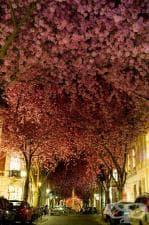 Сакура - символът на пролетта в Япония