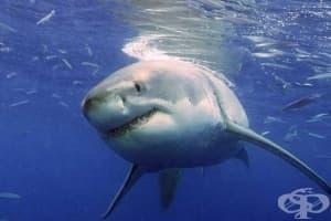 Гмуркачи плуват с най-голямата акула в света