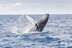 Историята на света се крие в ушната кал на китовете