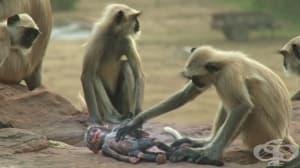 Маймуни случайно убиват маймуна робот, а после скърбят за нея