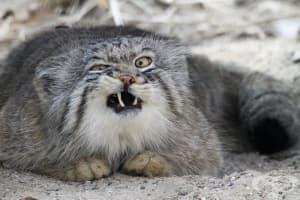 Представяме ви дивата котка с най-изразителна муцуна: манул