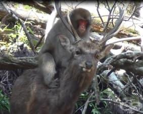 Феномен: Маймуни се опитват да правят секс с елени в Япония