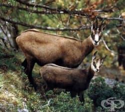 """Заболяването """"син език"""" се разпространи и сред дивите кози"""