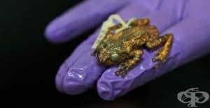 Пептид от жаба унищожава грипни вируси