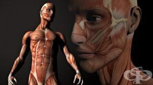 Физиология на мускулите