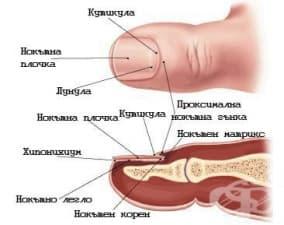 Какво представляват гъбичките на ноктите?