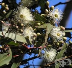 Масло от лимонов евкалипт - lemon eucalyptus