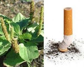 Пийте чай от живовляк, за да откажете цигарите