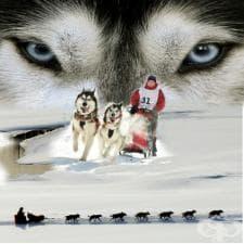 Надбягвания с кучешки впрягове Идитарод