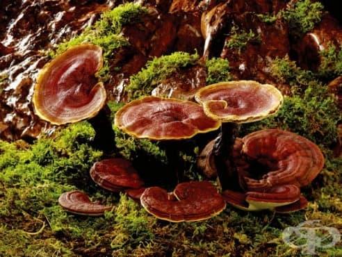 Лечебните ползи от гъбата Рейши (Ganoderma Lucidum) - изображение