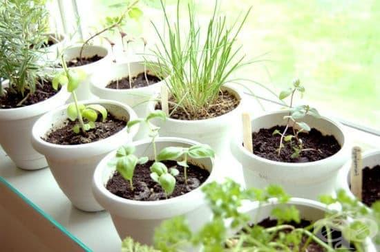 Лечебни растения, които може да отглеждате у дома - изображение