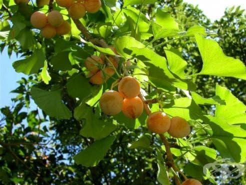 Ядки от Гинко билоба - малко познат природен лек - изображение