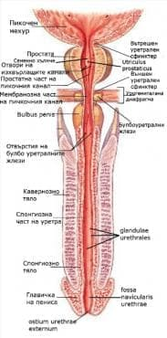 Мъжки пикочен канал (urethra masculina) - изображение