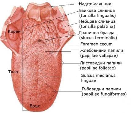 Език (lingua) - изображение