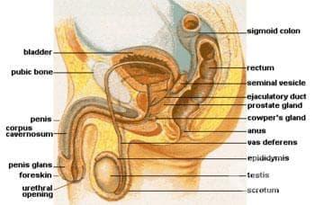 Булбо-уретрални жлези (glandulae bulbourethralis) - изображение