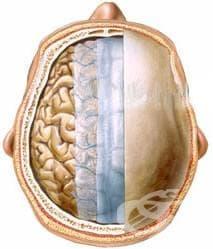 Обвивки на главния мозък (Meninges) - изображение