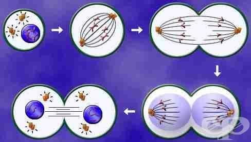 Митотично делене (Mitosis) - изображение