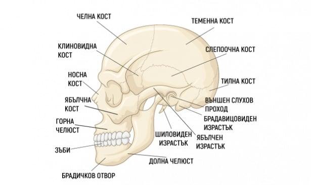 Череп (cranium) - изображение