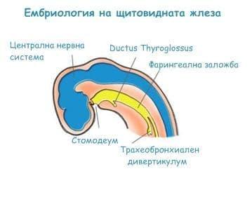 Ембриология на щитовидната жлеза - изображение