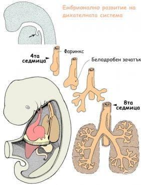Ембрионално развитие на дихателната система - изображение