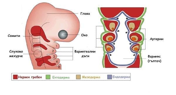 Ембрионално развитие на главата и шията - изображение
